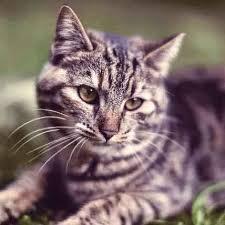 my cat has dandruff cat dandruff remedies and solutions petcarerx