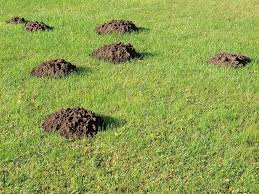 The 5 Best Mole Traps + Reviews & Ratings! (Dec, 2017) How To Get Rid Of Moles Organic Gardening Blog Cat Captures Mole In My Neighbors Backyard Youtube Animal Wikipedia Identify And In The Garden Or Yard Daily Home Renovation Tips Vs The Part 1 Damaging Our Lawn When Are Most Active Dec 2017 Uerstanding Their Behavior Mole Gassing Pests Get Correct Remedy Liftyles Sonic Molechaser Alinum Covers 11250 Sq Ft Model 7900