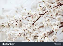 Apricot Tree Flower Buds Blossoms Blooming Stock Photo 591634466