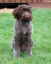 Wirehaired Pointing Griffon Non Shedding by German Wirehaired Pointer Info Temperament Puppies Pictures