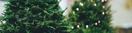 Fraser Christmas Trees Uk by Real Christmas Trees Tayside Forestry