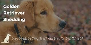 Do All Dogs Shed Fur by Golden Retriever Shedding How Much And How To Get Control