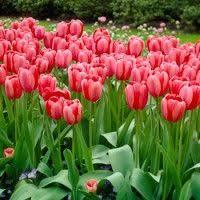 and yellow darwin tulip bulbs apeldoorn elite tulipa darwin