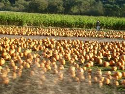 Pumpkin Patch Half Moon Bay Ca by Pumpkin Patch In Half Moon Bay California