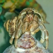 Halloween Hermit Crab Care by Hca Hermit Crab Association U2022 View Topic Blackback Crab