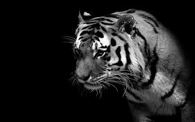 Tiger Black And White Wallpaper