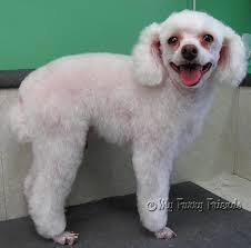 My Short Haired Dog Sheds A Lot by Grooming Your Furry Friend Does A Poodle Have To Be Groomed Like