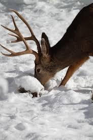 Shed Hunting Utah 2017 by Statewide Order No Gathering Of Antlers Shed By Deer Elk Moose