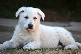 Non Shedding Dog Breeds With Pictures by 5 Common Questions About The White German Shepherd Animalso