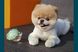 Small Dogs That Dont Shed by Cute Small Dog Breeds That Don T Shed Names Dog Breeds Puppies