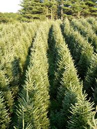 Fraser Fir Christmas Trees Nc by Wholesale North Carolina Christmas Trees Long U0027s Tree Farm West