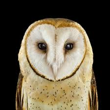 Who's Who | Audubon - Barn Owl Size: Up To 15 Inches Tall; 1 Pound ... Watch The Secret To Why Barn Owls Dont Lose Their Hearing 162 Best Owls Images On Pinterest Barn And Children Stock Photos Images Alamy Owl 10 Fascating Facts About Species List Az 210 Birds Drawing Photographs Of Cave By Tyler Yupangco 312 Beautiful Birds