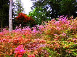 Landscape of a southern plantation azalea garden where pink and
