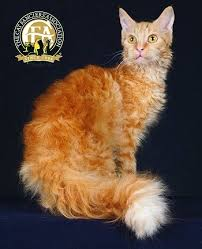 haired cat breed profile the laperm