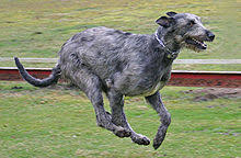 Irish Wolfhound Non Shedding by Irish Wolfhound
