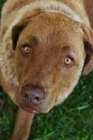 Chesapeake Bay Retriever Molting by Chesapeake Bay Retriever Dogs Pinterest Baie Chesapeake Bay