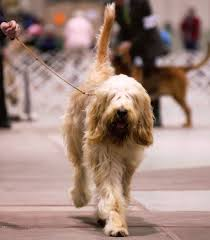 Wirehaired Pointing Griffon Non Shedding by Reaching Out With A Rare Breed Akc Dog Lovers American Kennel Club