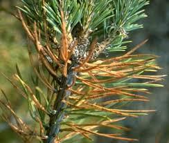 les pins pinus