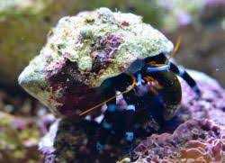 Halloween Hermit Crab by What Is A Coral Calcinus Elegans Electric Blue Hermit Crab
