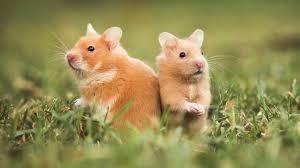 hamster der wildnis in ihr schlafzimmer der hamster