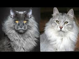 forest cat vs maine coon maine coon vs siberian cat difference explained