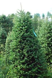 The Classic Rocks Balsam Christmas Tree Varied Sizes Starting At