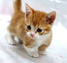 munchkins cats images munchkin cats search munckin cats