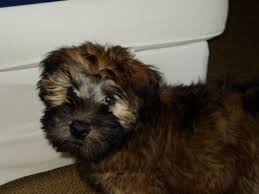 Do Wheaten Terrier Dogs Shed by Soft Coated Wheaten Terrier Wikipedia