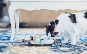 cat wont eat my cat won t eat food petcurean pet nutrition