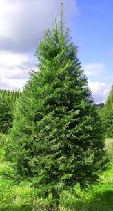 Popular Christmas Tree Species by Tree Descriptions And Pricing