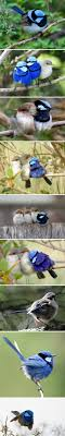307 Best Fairywrens & Co Images On Pinterest | Australian Birds ... Introduced Birds Birds In Backyards Best 25 Bird Watching Ideas On Pinterest Pretty Backyard 510 Best Birds Of A Feather Images Blackwinged Stilt 2016 Results Aussie Count Rainbow Lorikeet Evolve Their Behavior Without Chaing Bodies The To Feed Or Not To Audubon Female Blackbird Front Yard And Landscaping Ideas Designs Country Garden Striped Honeyeater Inland E Australia My