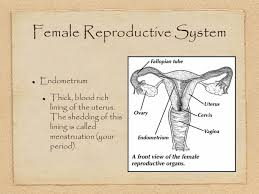 Uterine Lining Shedding While On Birth Control by 100 Uterus Lining Shedding Period Is It Safe To Skip