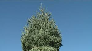 Middleburg Christmas Tree Farm For Sale by White House Christmas Tree Coming From Carbon County Wnep Com