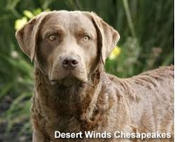 Chesapeake Bay Retriever Molting by 142 Best Our Future Dog Images On Pinterest Chesapeake Bay
