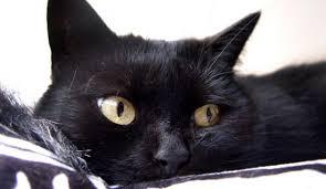 bombay cats bombay wwwhttps1