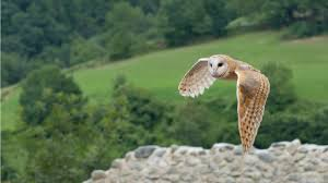 Barn Owl Background Wallpaper 19773 - Baltana Barn Owl United Kingdom Eurasian Eagleowl Wallpaper Studio 10 Tens Of Barn Owl Wallpapers And Backgrounds Pictures 72 Images By Faezza On Deviantart Bird Falconry One Animal Closeup Free Image Snowy Hd 78 Sits Pole Wooden Dove Birds Images Hd 169 High Wallpaper 1680x1050 11554 Free Backgrounds At Wildlife Monodomo 2 One Online 4k Desktop For Ultra Tv Wide