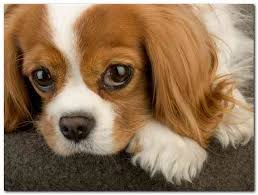 non shedding dog breeds small 100 images a list of small dogs