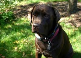 what is the best dog food for your labrador retriever