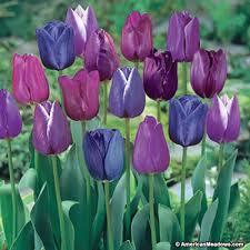 triumph tulip bulbs blue moon mix american