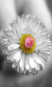 White Sun Flower Wallpaper
