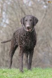 Best Dog Breeds That Dont Shed by 4 Gorgeous Breeds Of Curly Coated Dogs Pets4homes