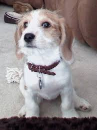 lhasa apso puppy shedding be apso beagle lhasa apso mix info puppies pictures