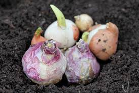 plant bulbs now for early ncpr news