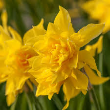 miniature daffodils flower bulbs at wholesale prices