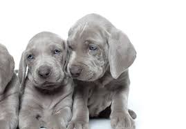 Do Long Haired Weimaraners Shed by Weimaraner Puppies For Sale Akc Puppyfinder