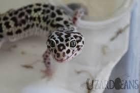 Do Leopard Geckos Shed by Lizard Beans U2022 What Is A Leopard Geckos Normal Behavior