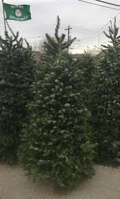 Nordmann Fir Christmas Trees Wholesale by Christmas Trees Glover Nursery