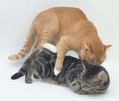cats mating neutered cat and behavior