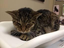 renal failure in cats amanda kidney failure anjellicle cats fundraising cats