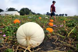 Pumpkin Patch Austin Texas 2015 by Sow Grow Savor Braune Farms Fresh Produce San Antonio Express